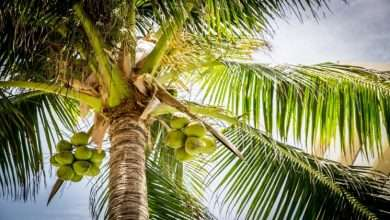 How Coconut Fluff Help Growing the Tree
