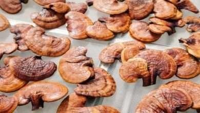 Reishi Mushroom Benefits Uses Dosage and Side Effects
