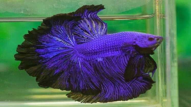 What can Betta fish eat of human food