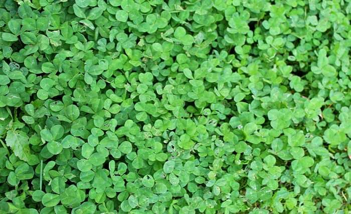 How to get rid of Clover in lawn.jpg